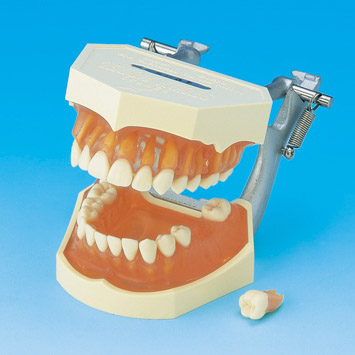 Modelo de Estudio con Dientes Removibles [PE-ANA001] – Cipresdent