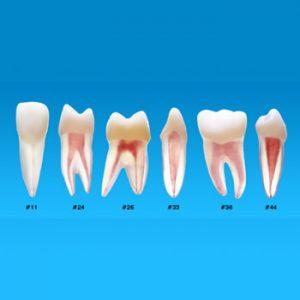 3. Dientes para Endodoncia